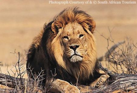 Photos Lion on Le Lion D Afrique